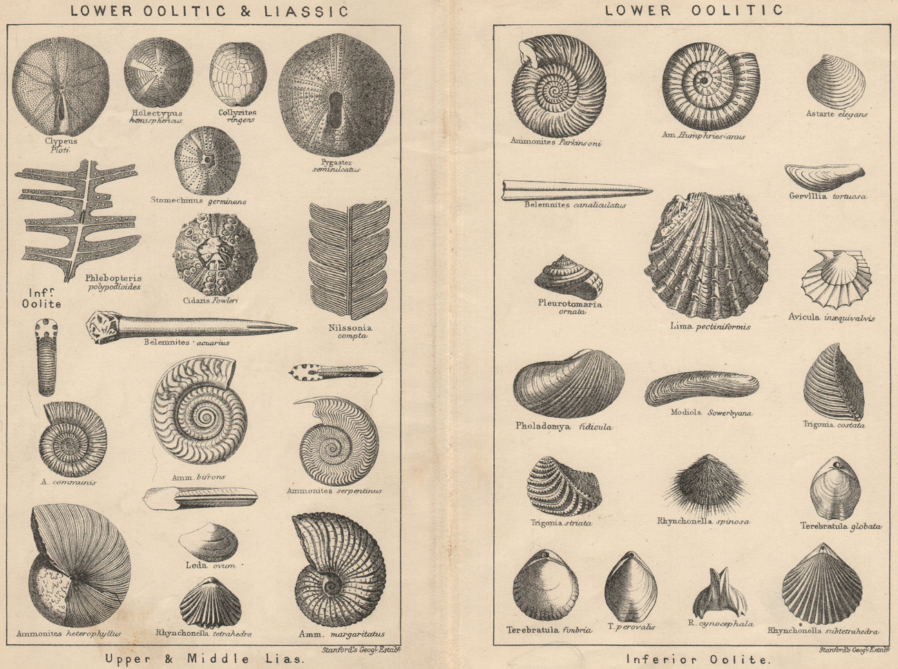 Associate Product BRITISH FOSSILS. Lower Oolitic & Liassic. Lower Oolitic. STANFORD 1913 print