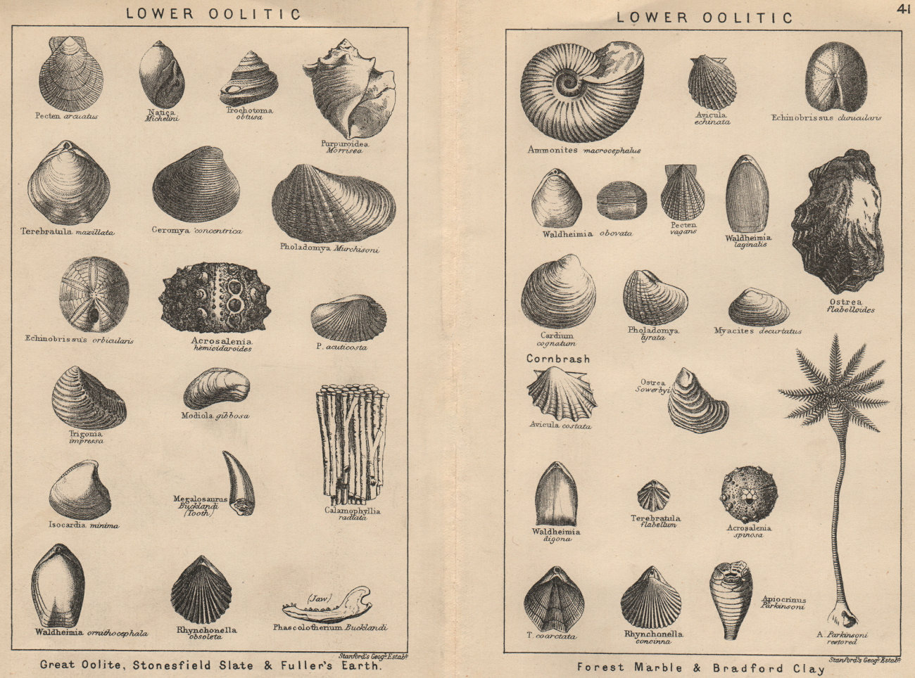 Associate Product BRITISH FOSSILS. Lower Oolitic. STANFORD 1913 old antique print picture