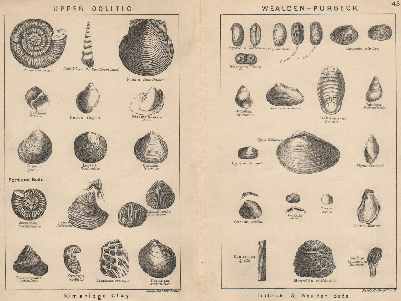 Associate Product BRITISH FOSSILS. Upper Oolitic. Wealden-Purbeck. STANFORD 1913 old print