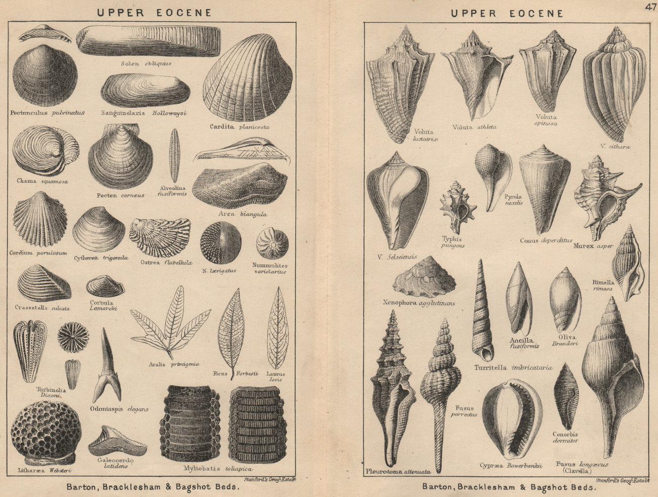 Associate Product BRITISH FOSSILS. Upper Eocene. STANFORD 1913 old antique vintage print picture