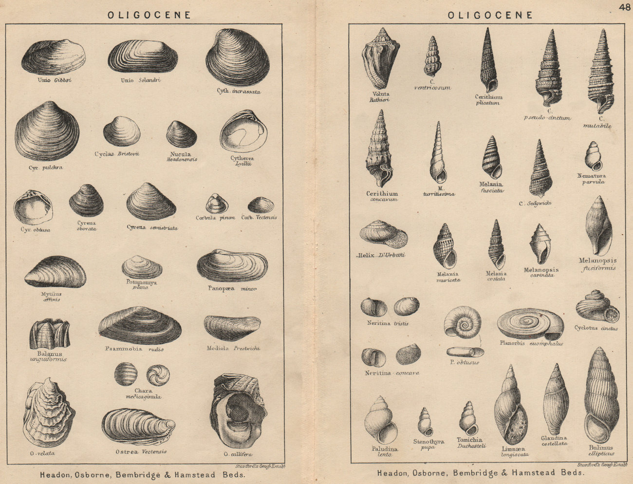 Associate Product BRITISH FOSSILS. Oligocene. STANFORD 1913 old antique vintage print picture