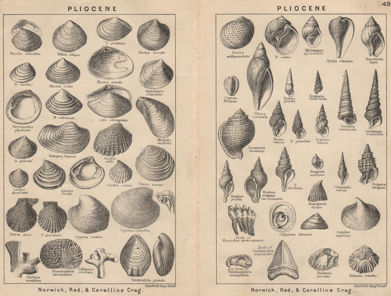 Associate Product BRITISH FOSSILS. Pliocene. STANFORD 1913 old antique vintage print picture