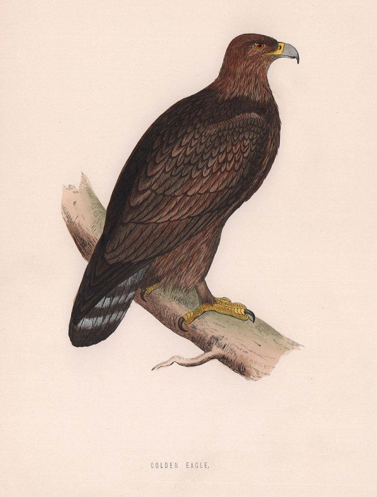 Golden Eagle. Morris's British Birds. Antique colour print 1870