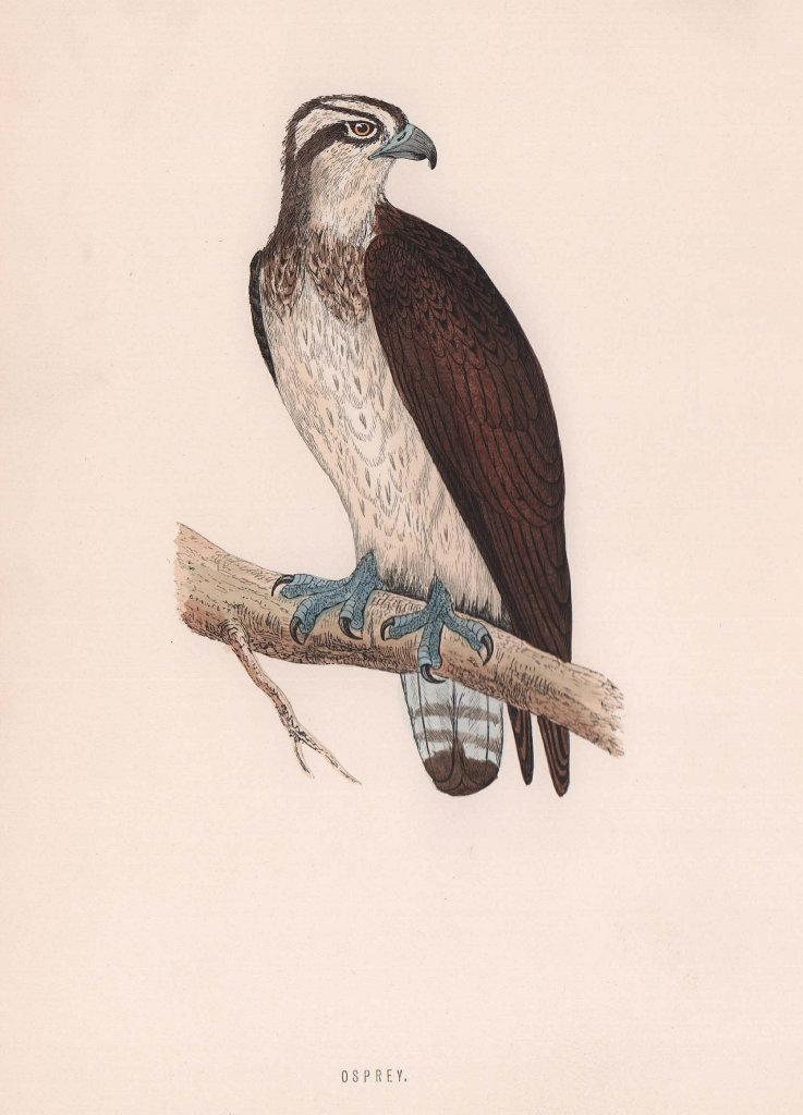 Osprey. Morris's British Birds. Antique colour print 1870 old