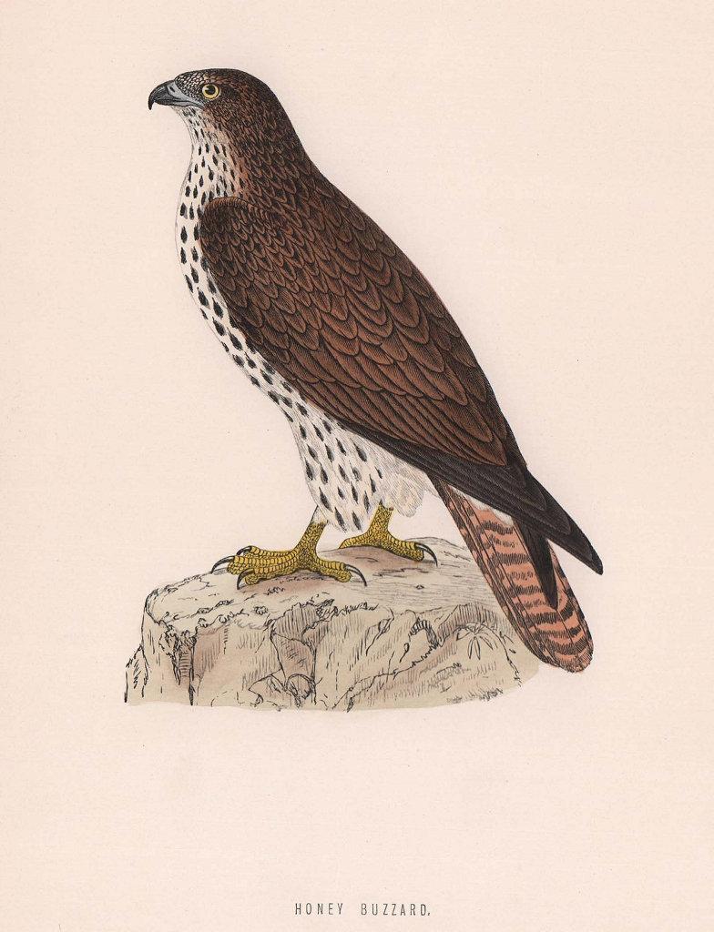 Honey Buzzard. Morris's British Birds. Antique colour print 1870 old