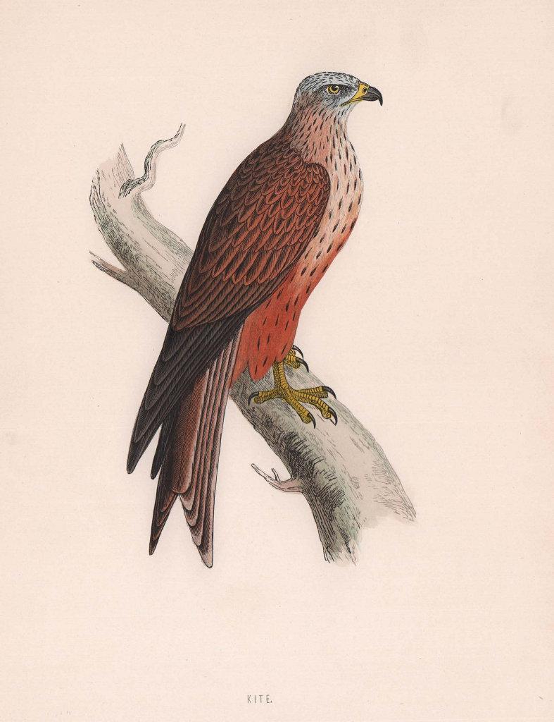 Kite. Morris's British Birds. Antique colour print 1870 old