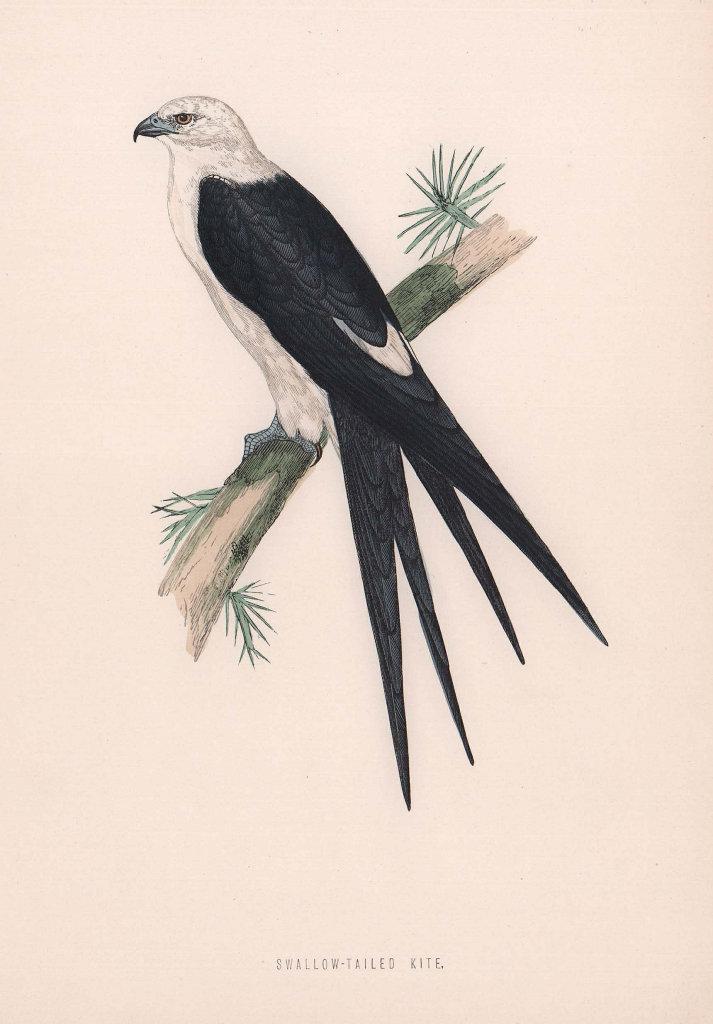 Swallow-tailed Kite. Morris's British Birds. Antique colour print 1870