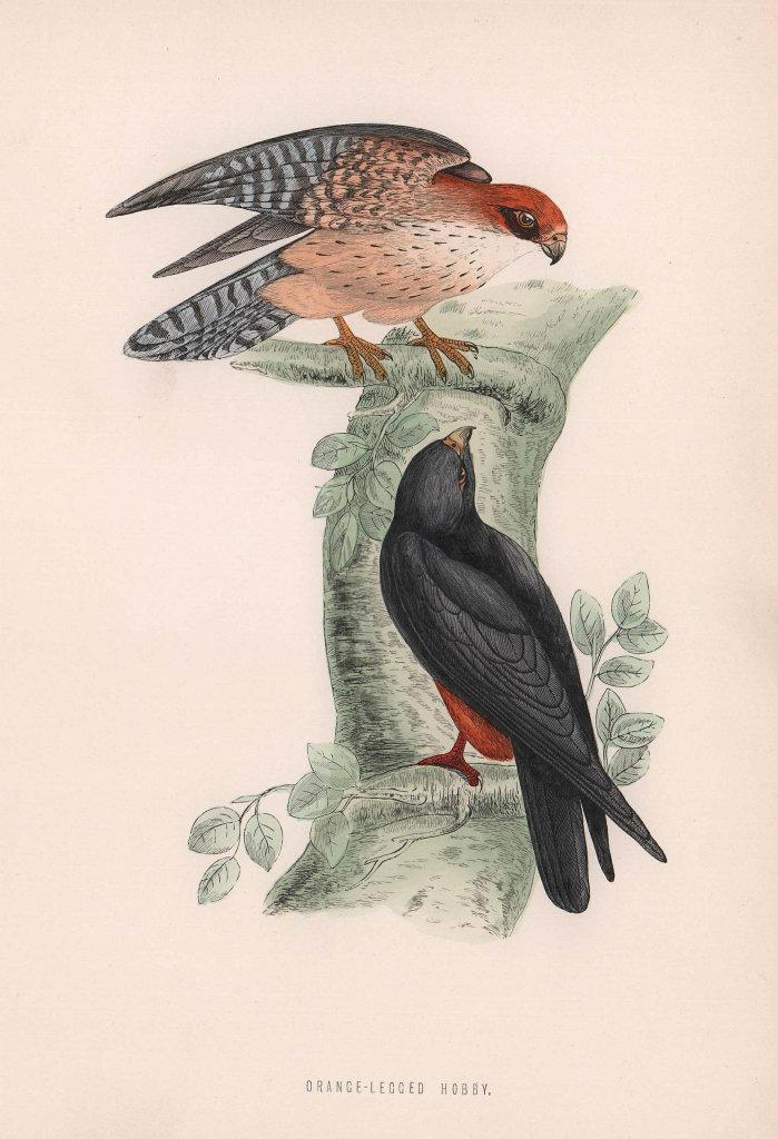 Orange-Legged Hobby. Morris's British Birds. Antique colour print 1870