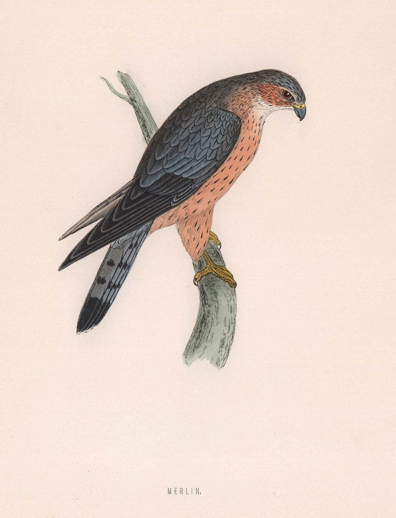Merlin. Morris's British Birds. Antique colour print 1870 old