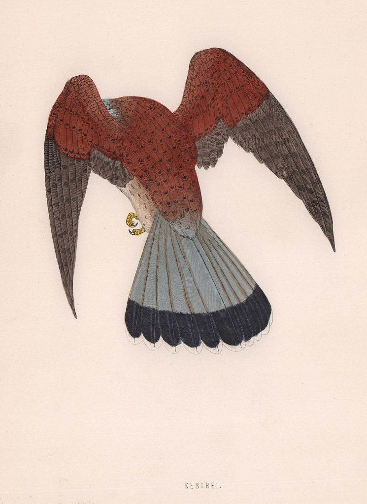 Kestrel. Morris's British Birds. Antique colour print 1870 old