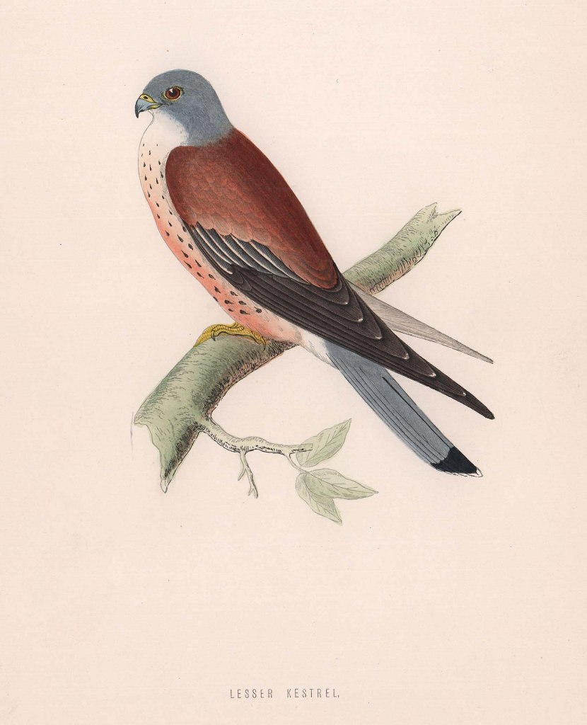 Lesser Kestrel. Morris's British Birds. Antique colour print 1870 old