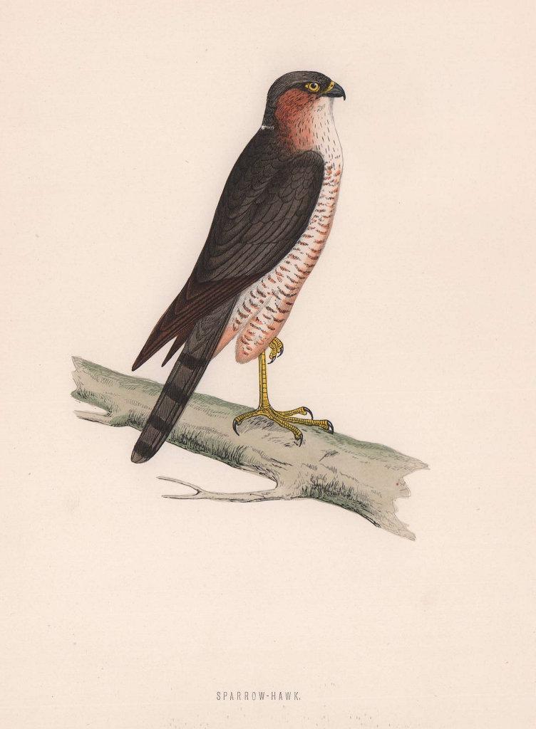 Sparrow-Hawk. Morris's British Birds. Antique colour print 1870 old