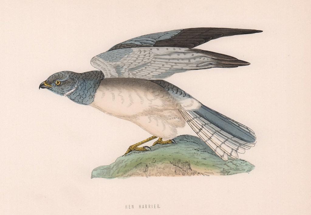 Hen Harrier. Morris's British Birds. Antique colour print 1870 old