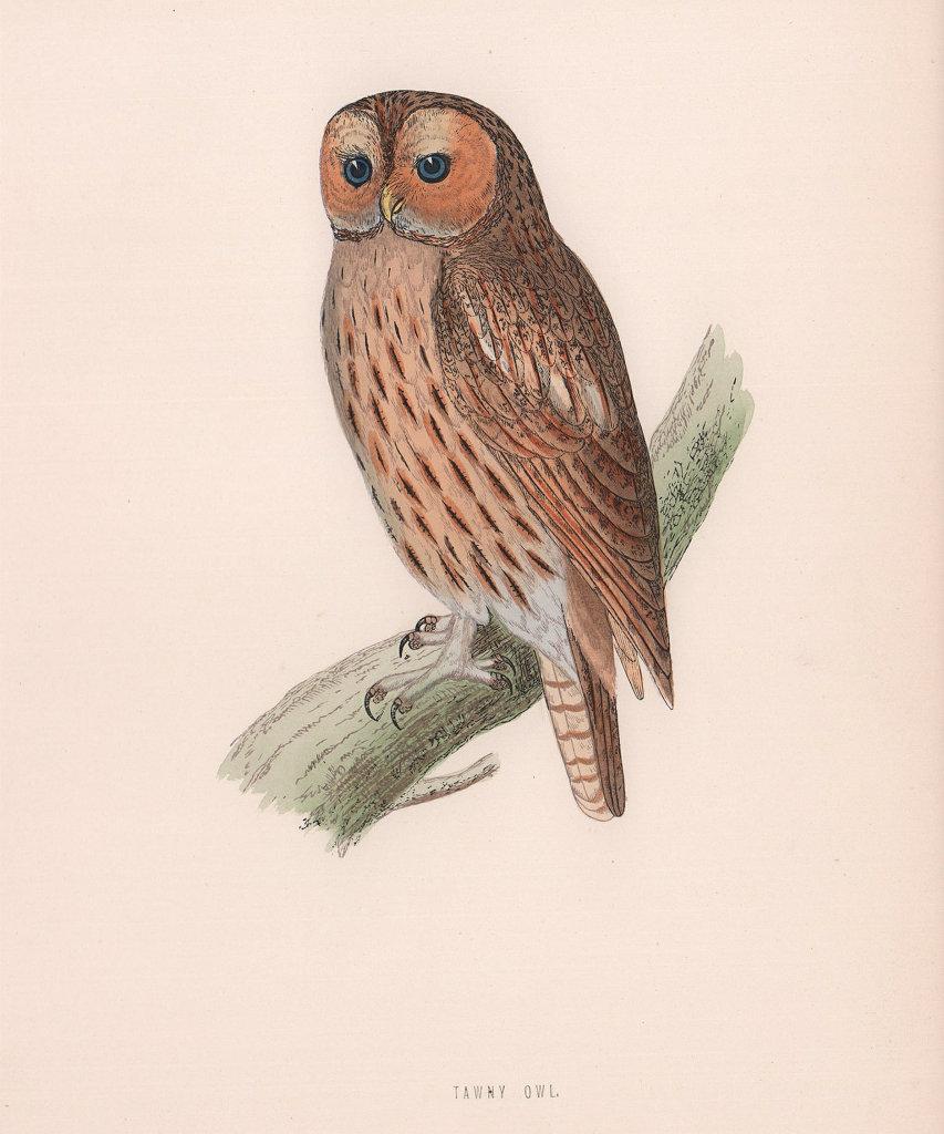 Tawny Owl. Morris's British Birds. Antique colour print 1870 old