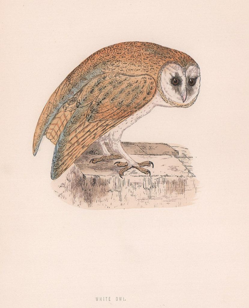 White Owl. Morris's British Birds. Antique colour print 1870 old