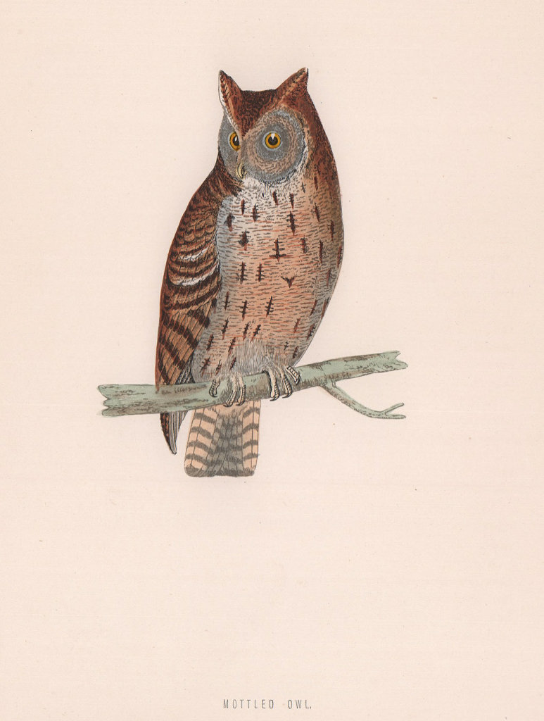 Mottled Owl. Morris's British Birds. Antique colour print 1870 old
