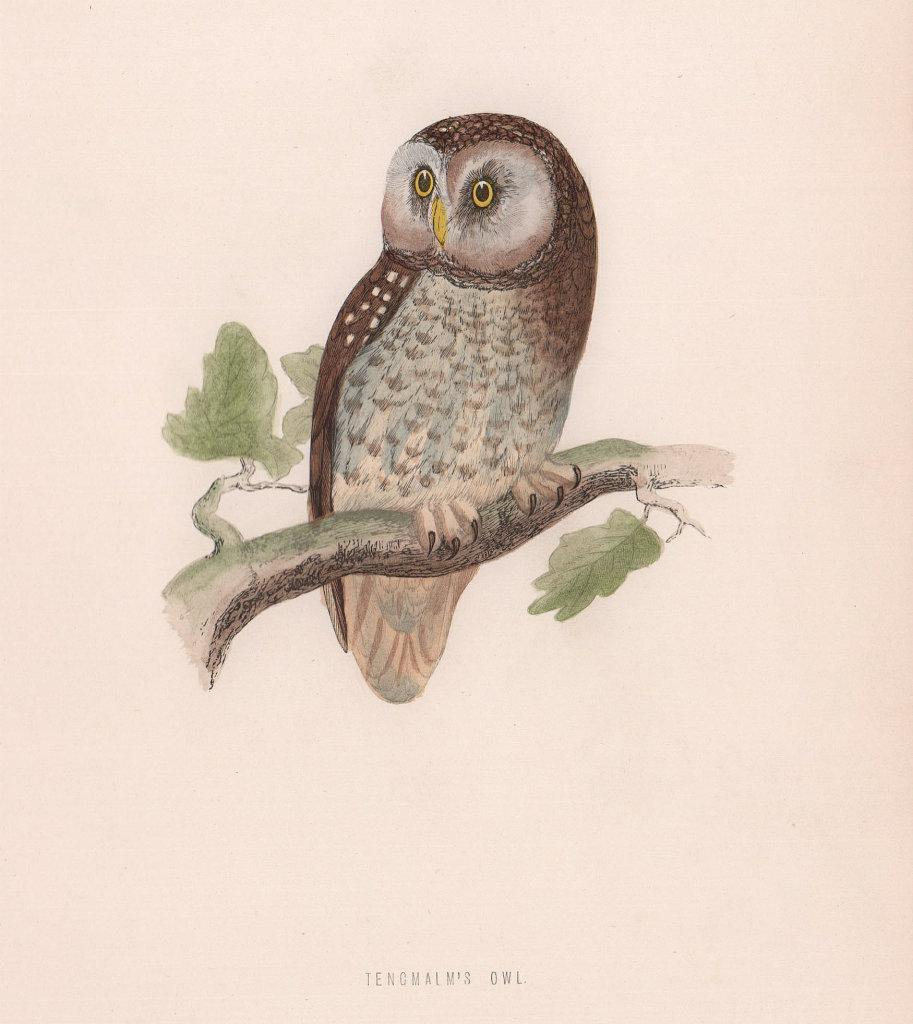 Tengmalm's Owl. Morris's British Birds. Antique colour print 1870 old