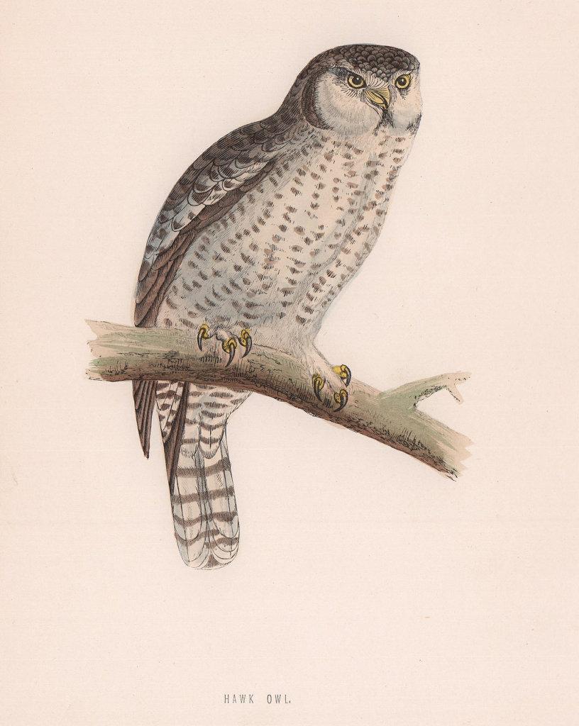 Hawk Owl. Morris's British Birds. Antique colour print 1870 old