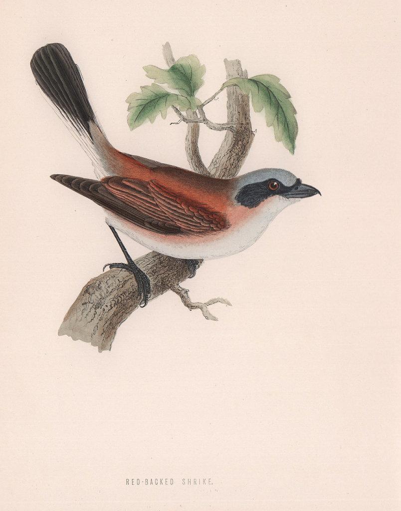 Red-Backed Shrike. Morris's British Birds. Antique colour print 1870 old