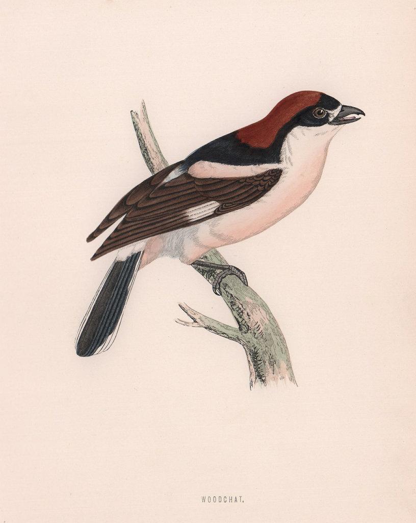 Woodchat. Morris's British Birds. Antique colour print 1870 old