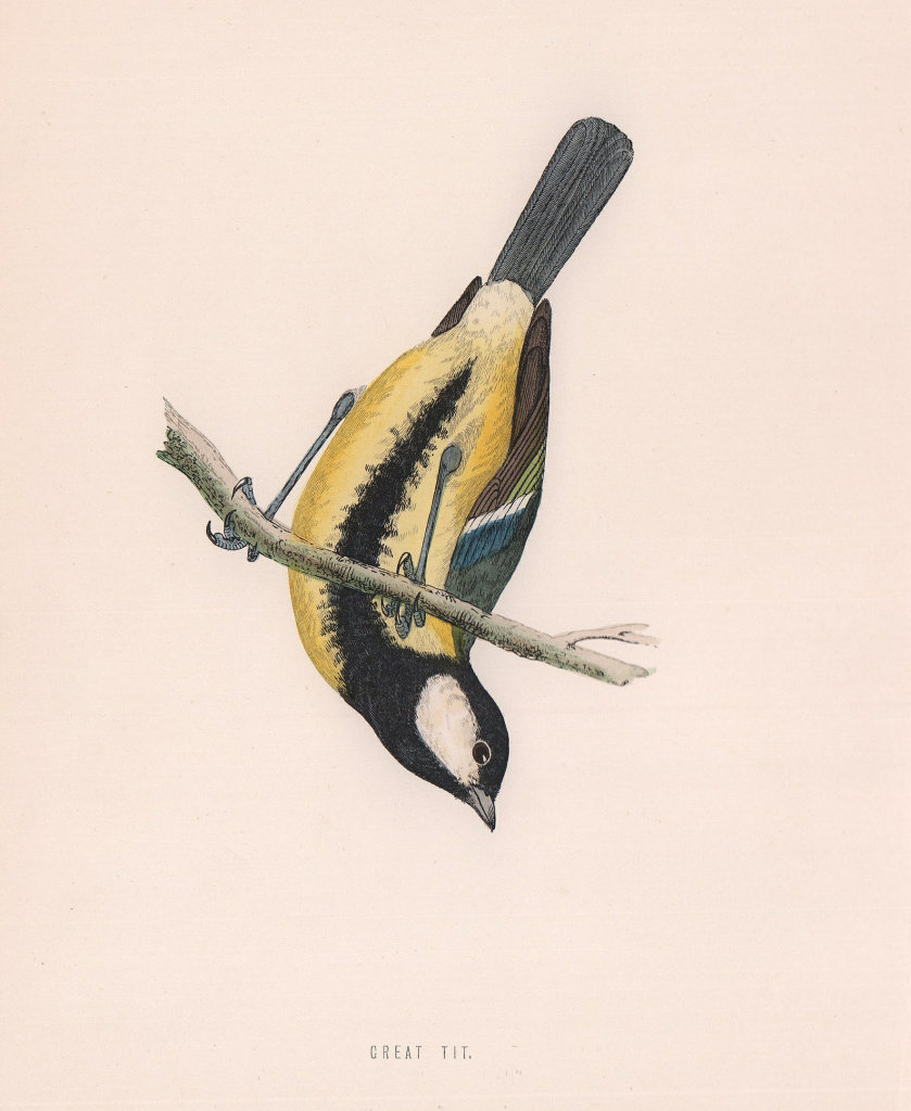 Great Tit. Morris's British Birds. Antique colour print 1870 old