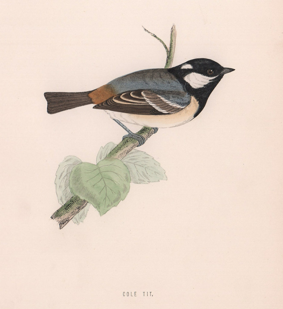 Cole Tit. Morris's British Birds. Antique colour print 1870 old
