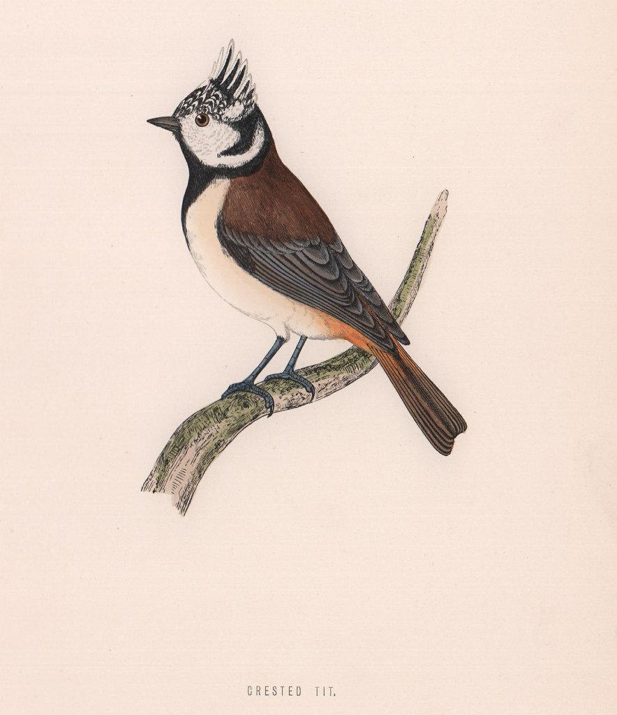 Crested Tit. Morris's British Birds. Antique colour print 1870 old