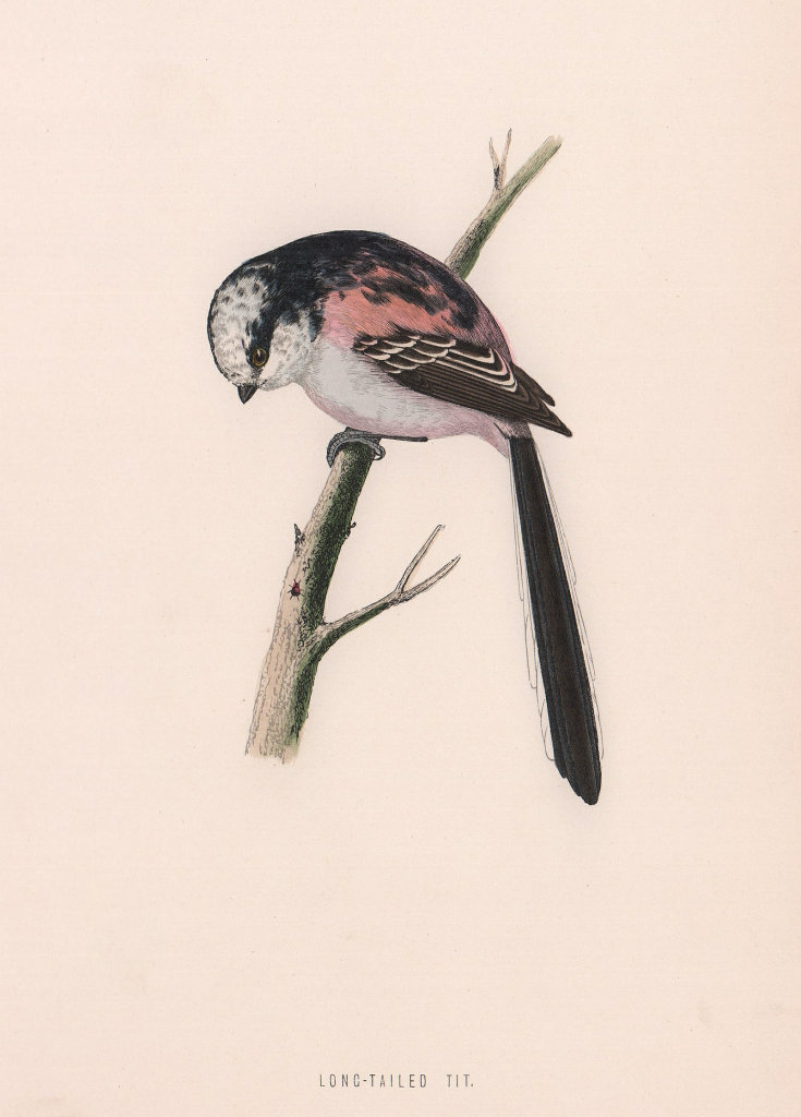Long-tailed Tit. Morris's British Birds. Antique colour print 1870 old