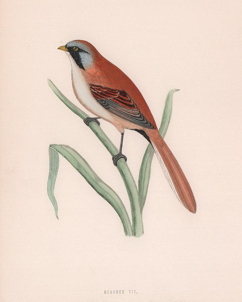 Bearded Tit. Morris's British Birds. Antique colour print 1870 old
