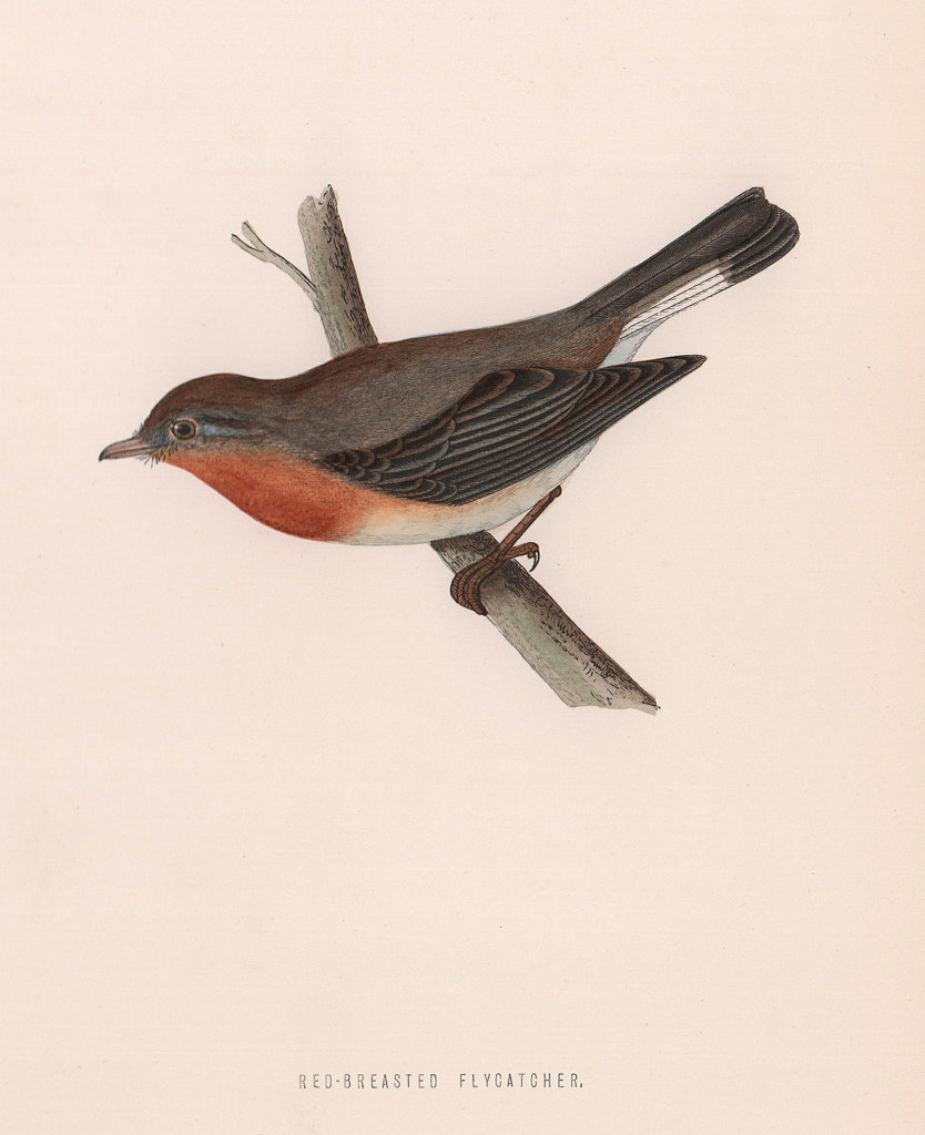 Red-breasted Flycatcher. Morris's British Birds. Antique colour print 1870