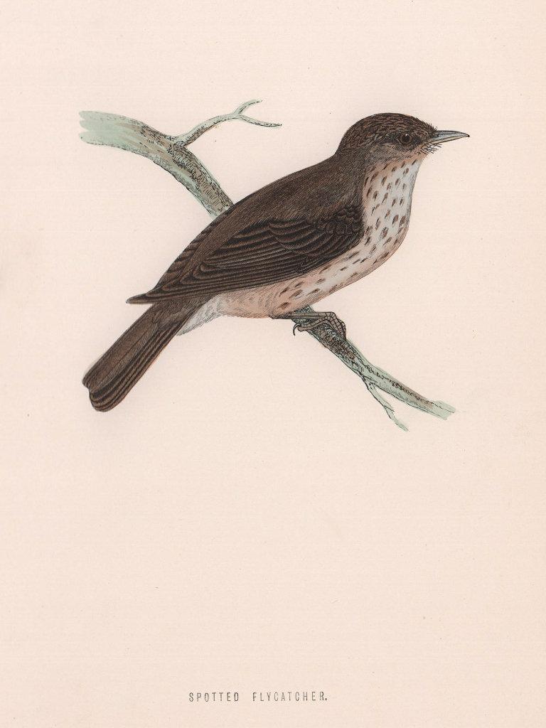 Spotted Flycatcher. Morris's British Birds. Antique colour print 1870