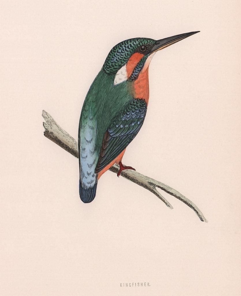 Kingfisher. Morris's British Birds. Antique colour print 1870 old