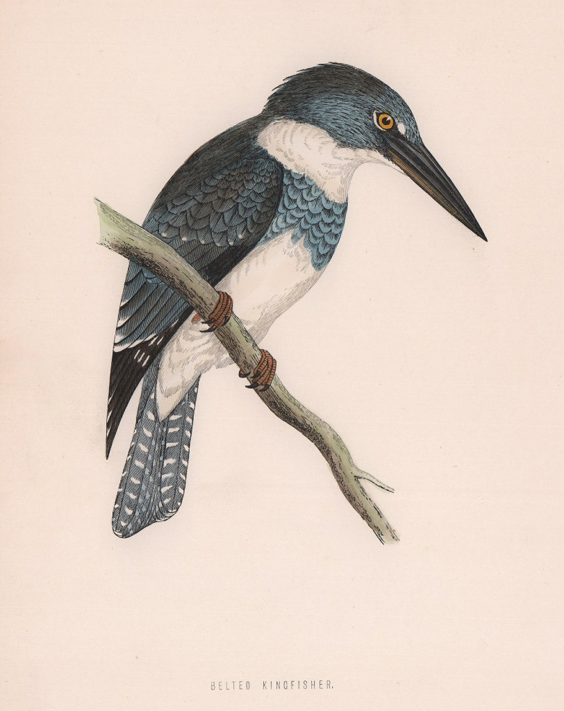 Belted Kingfisher. Morris's British Birds. Antique colour print 1870 old