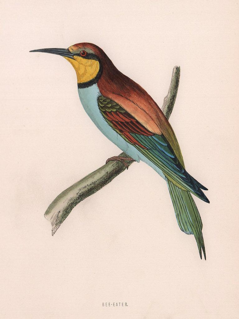 Bee-eater. Morris's British Birds. Antique colour print 1870 old
