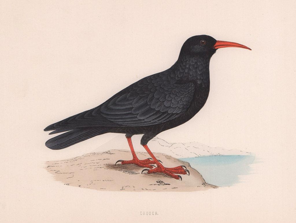 Chough. Morris's British Birds. Antique colour print 1870 old