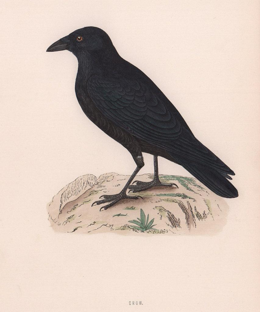Crow. Morris's British Birds. Antique colour print 1870 old