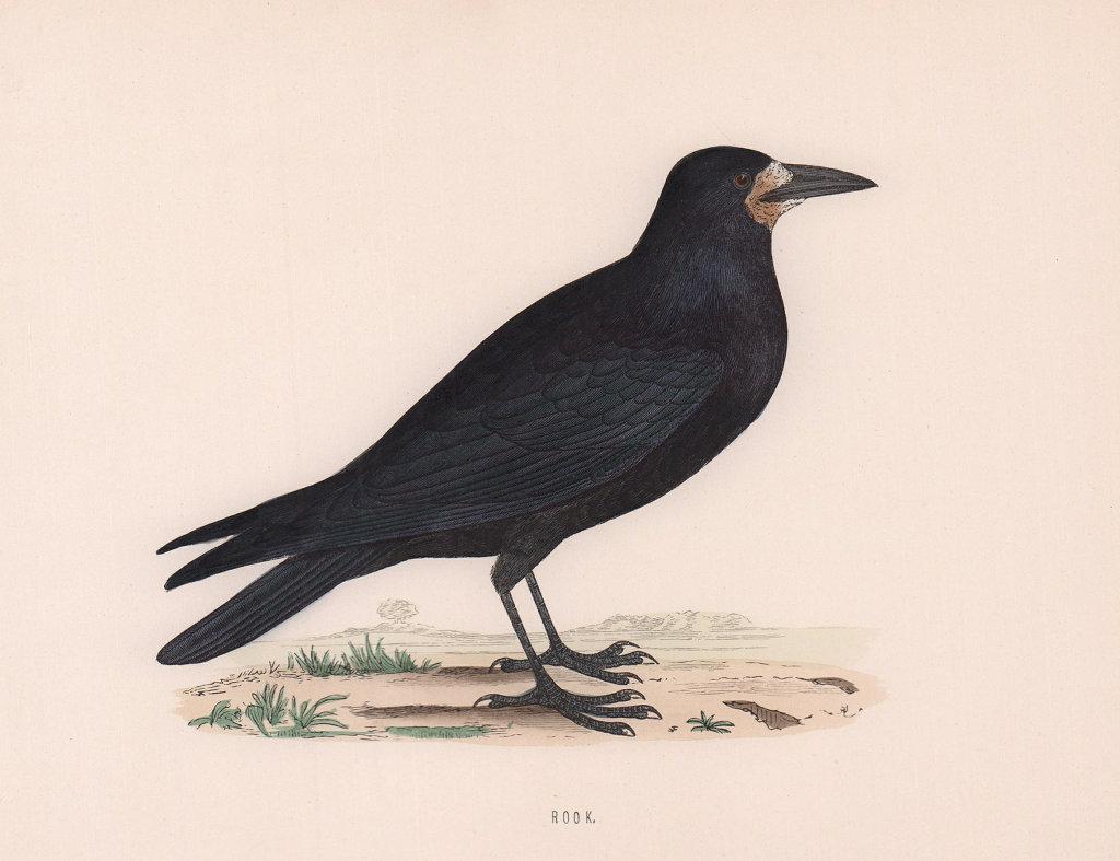 Rook. Morris's British Birds. Antique colour print 1870 old
