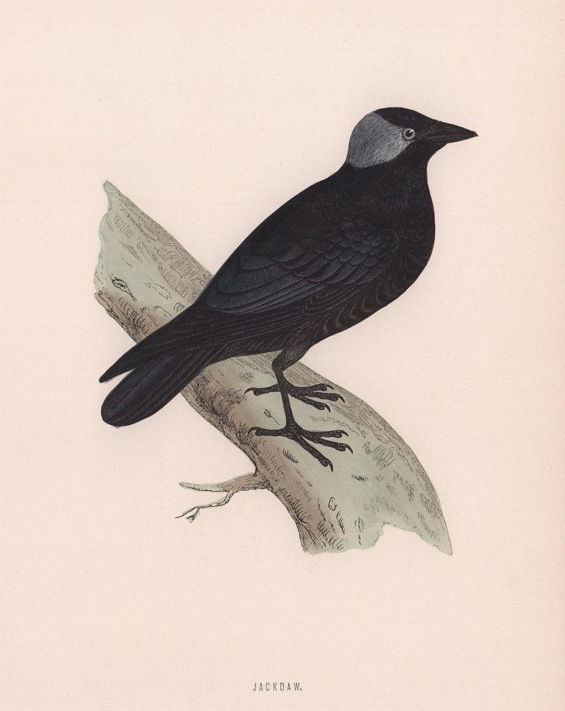 Jackdaw. Morris's British Birds. Antique colour print 1870 old