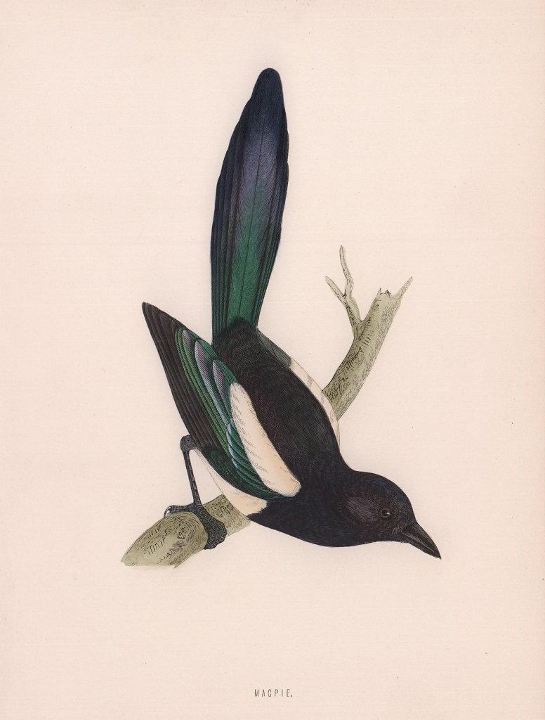 Magpie. Morris's British Birds. Antique colour print 1870 old