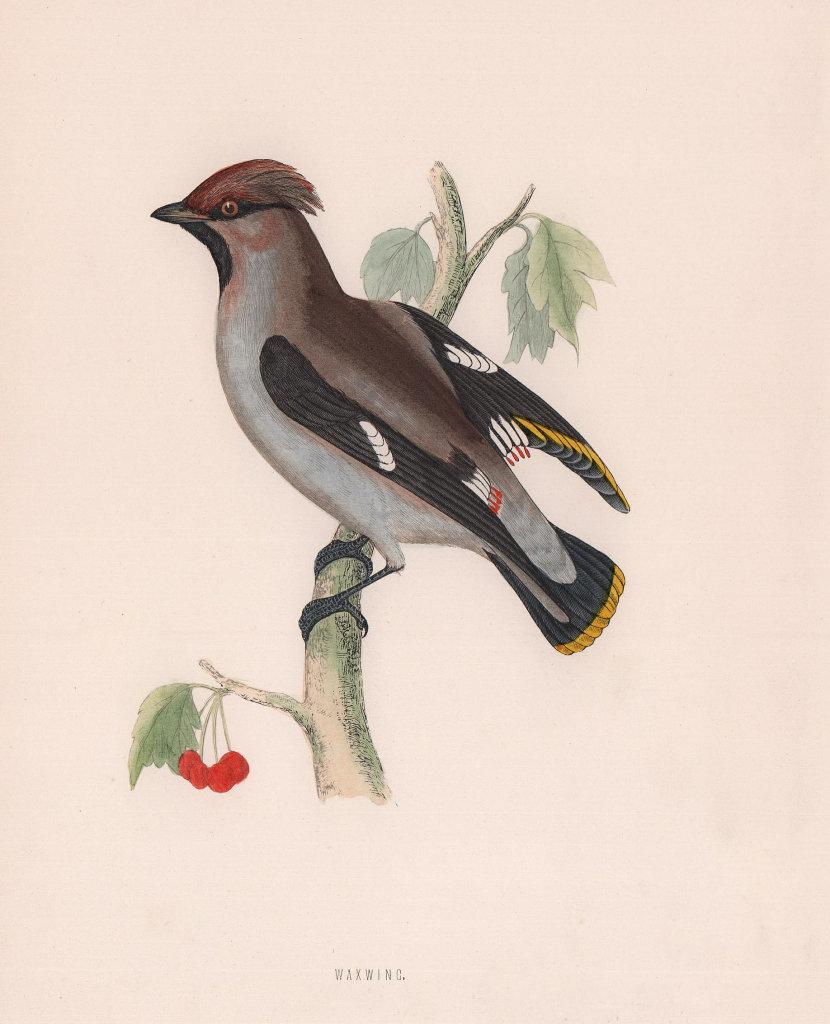 Waxwing. Morris's British Birds. Antique colour print 1870 old