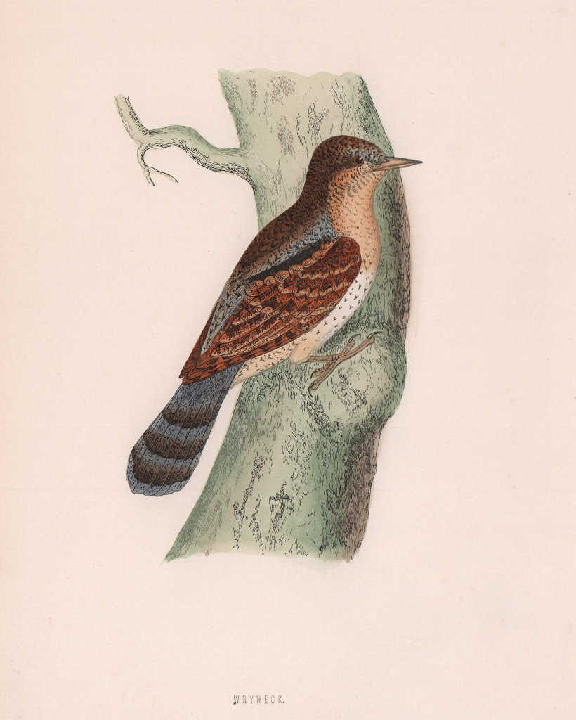Wryneck. Morris's British Birds. Antique colour print 1870 old