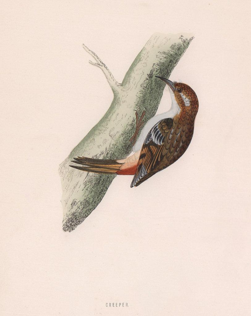 Creeper. Morris's British Birds. Antique colour print 1870 old