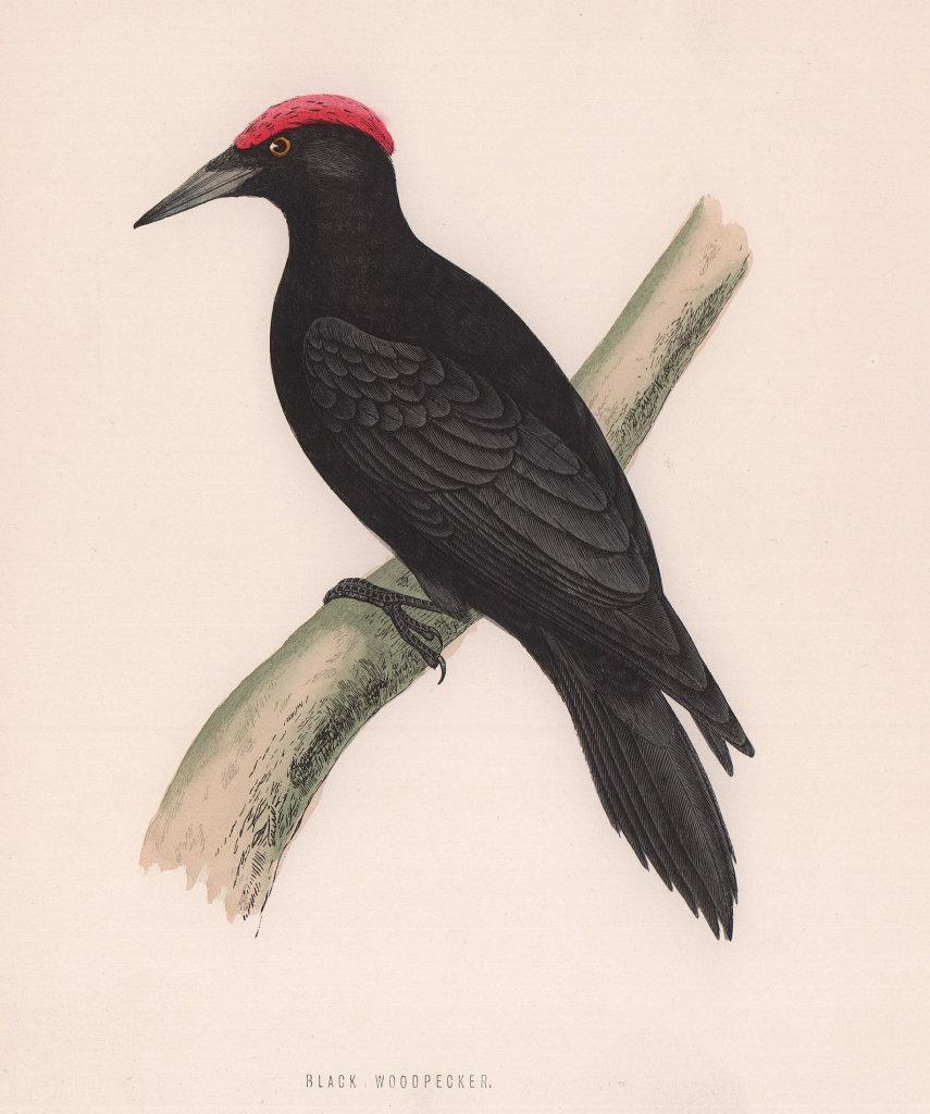 Black Woodpecker. Morris's British Birds. Antique colour print 1870 old