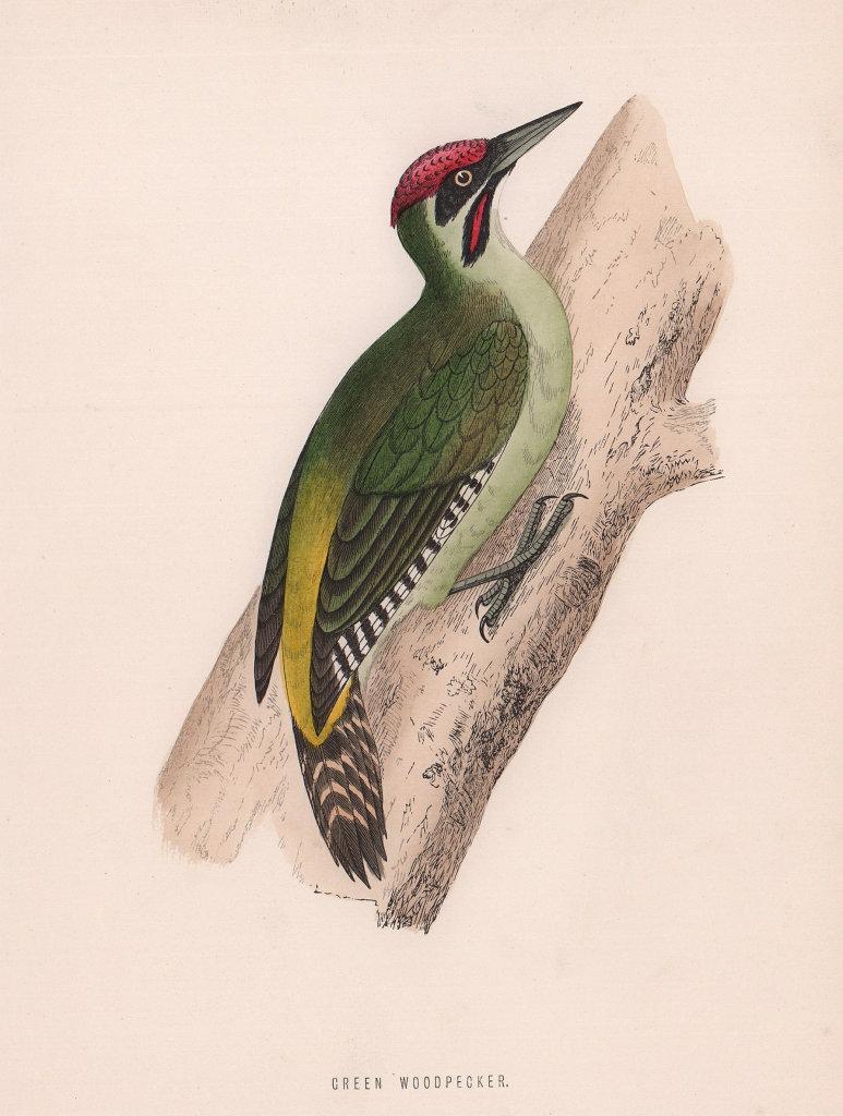 Green Woodpecker. Morris's British Birds. Antique colour print 1870 old