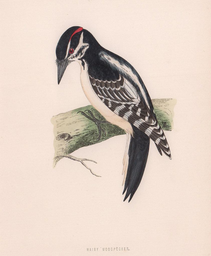 Hairy Woodpecker. Morris's British Birds. Antique colour print 1870 old