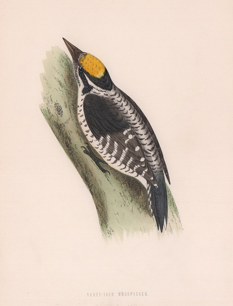 Three-toed Woodpecker. Morris's British Birds. Antique colour print 1870