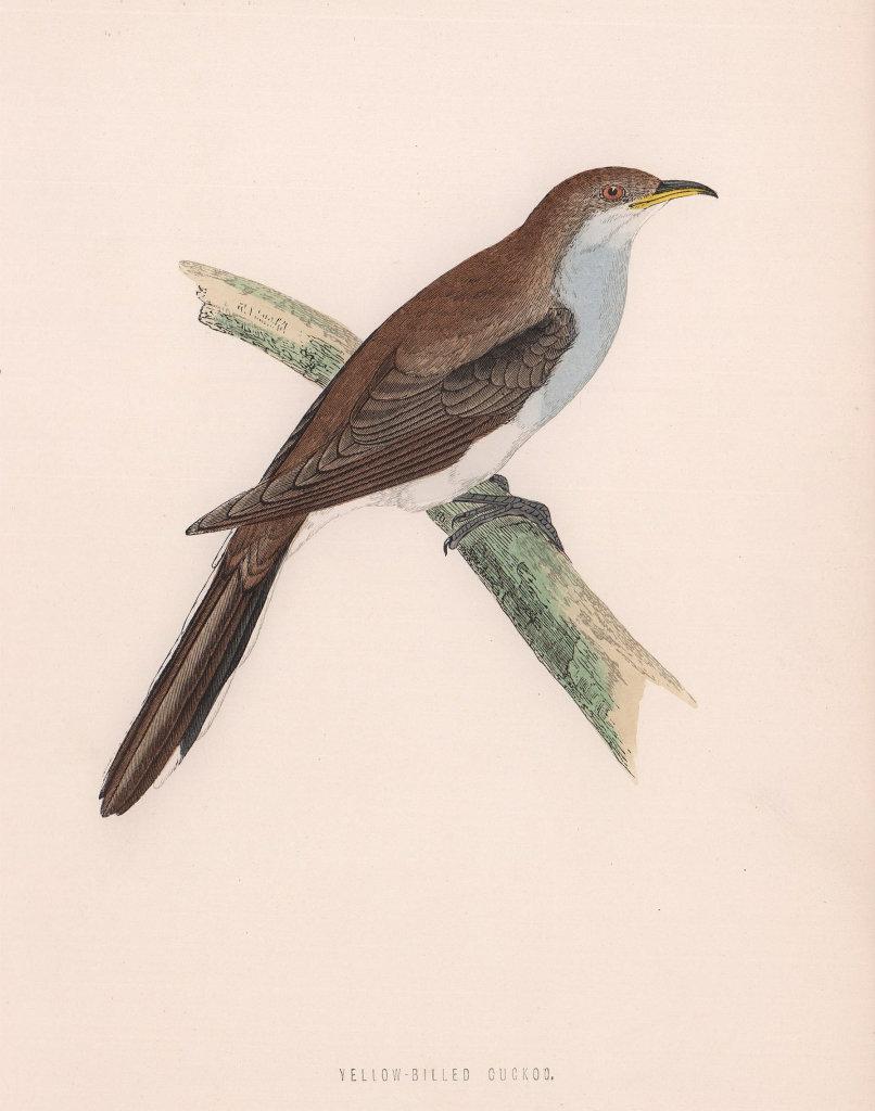 Yellow-billed Cuckoo. Morris's British Birds. Antique colour print 1870