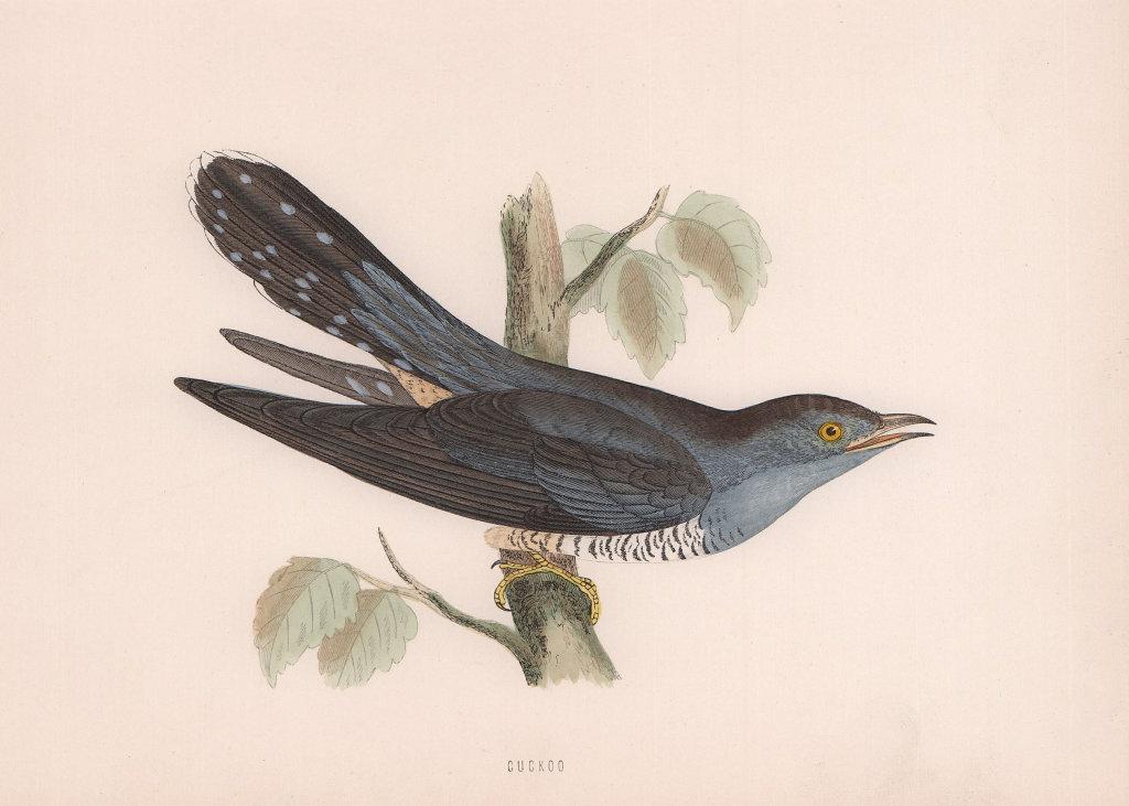 Cuckoo. Morris's British Birds. Antique colour print 1870 old
