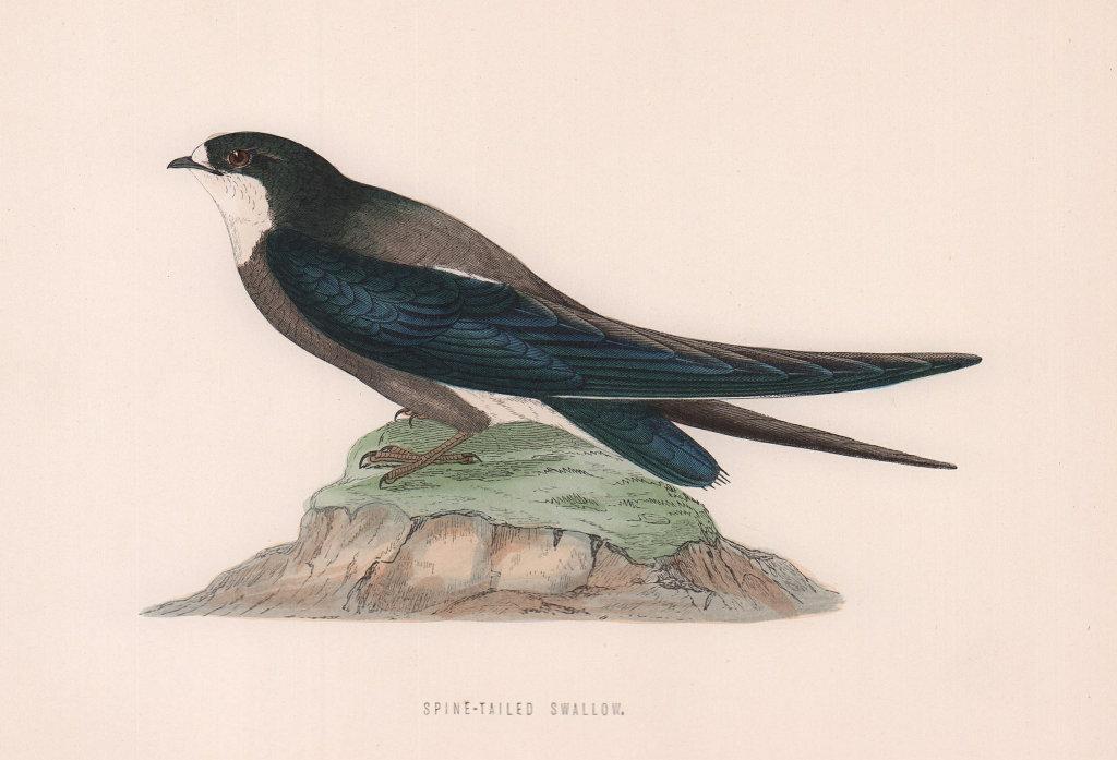 Spine-tailed Swallow. Morris's British Birds. Antique colour print 1870