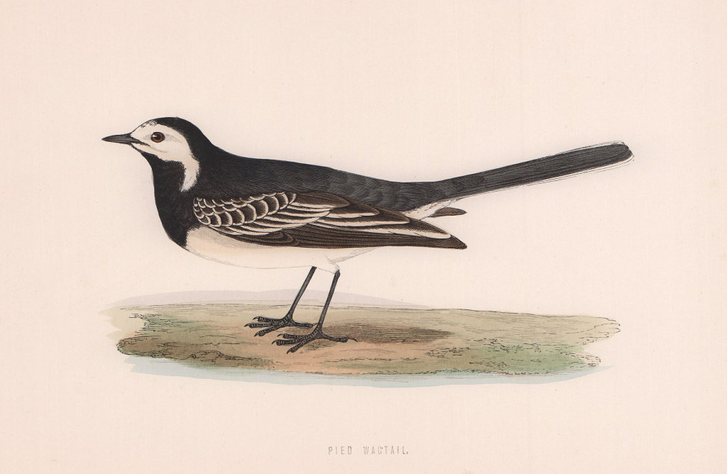 Pied Wagtail. Morris's British Birds. Antique colour print 1870 old